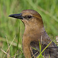 Boat-tailed Grackle-27527-2.jpg