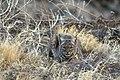 Bobcat at Tule Lake Refuge (5657706937).jpg