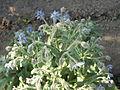 Borago officinalis-201208-Pragsdorf-image02.JPG