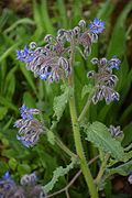 Borago officinalis in Botanical Garden of Besançon 05.JPG