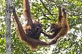 Bornean orangutan (Pongo pygmaeus), Tanjung Putting National Park 11.jpg