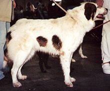 Tornjak Dog For Sale