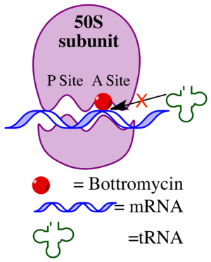 Bottromycin - Schematic of the mechanism of action of bottromycin