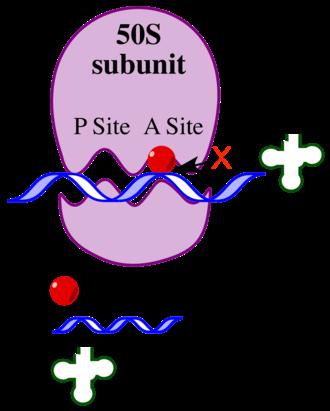 Bottromycin - Schematic of the mechanism of action of bottromycin