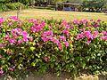 Bougainville plant.jpg