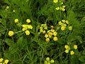 Bradshaws lomatium flower.jpg