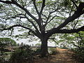 Branched Tree (1).JPG