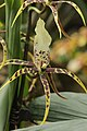Brassia 'Toscana' (32681255503).jpg