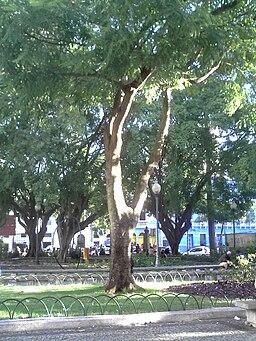 Brazilwood tree in Vitória, ES, Brazil