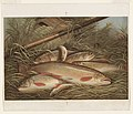 Brook trout LCCN90713007.jpg