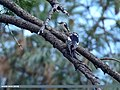 Brown-fronted Woodpecker (Dendrocopos auriceps) & Himalayan Woodpecker (Dendrocopos himalayensis) (45839314654).jpg