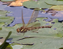 Brown Hawker Dragonfly in flight 7 (3877783853).jpg