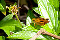 Brown and yellow butterfly (5518619168).jpg