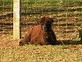 Brown cria at Dry Drayton Alpacas - geograph.org.uk - 1043625.jpg