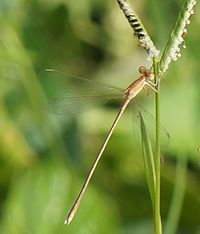 Brown spreadwing1.JPG
