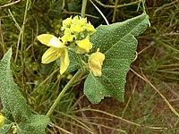 Bryonia verrucosa Tenerife 2.jpg