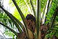 Buah kelapa sawit (10).JPG