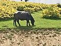 Bubalus bubalis - Water buffalo 02.jpg