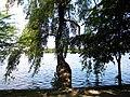 Bucuresti, Romania. PARCUL HERASTRAU. Acum Parcul Regele Mihai I. Lacul Herastru si copac. (B-II-a-A-18802).jpg