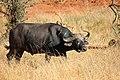 Buffalo Tsavo.jpg