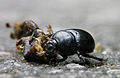 Bug moving dead snail with fly 1.jpg