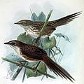 Bullers fernbirds.jpg