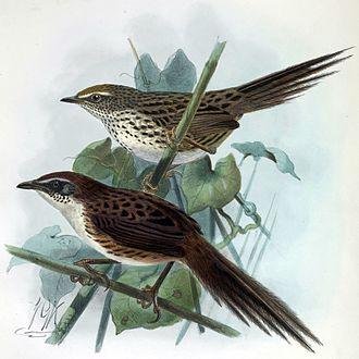Chatham fernbird - Chatham fernbird below