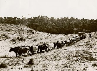 Ox - A team of ten pairs of oxen in Australia.