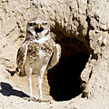Burrowing Owl by Mick Thompson.jpg