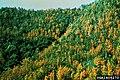 Bursaphelenchus xylophilus on Pinus densiflora.jpg