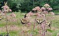Butterflies on Joe Pye Weed.jpg
