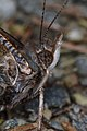 Butterfly (Lepidoptera) - Guelph, Ontario 02.jpg