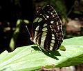 Butterfly Kerala Common Sailer side.jpg