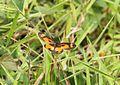 Butterfly bioko 1.JPG