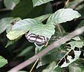 Butterfly bioko 4.JPG