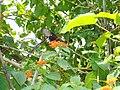 Butterfly in Koshi Tappu.JPG