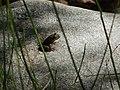 CA red-legged froglet (32734018014).jpg