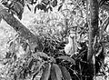 COLLECTIE TROPENMUSEUM Een jonge spilornis vogel verorberd een kleine slang te Dampar Oost-Java TMnr 10006577.jpg