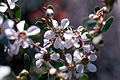 CSIRO ScienceImage 2730 The Coastal teatree Leptospermum laevigatum.jpg