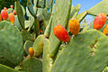 Cactus at Luther Burbank's Experiment Farm.jpg