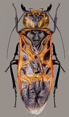 Caenolyda reticulata, imago.jpg