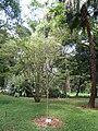 Caesalpinia echinata - Jardim Botânico de São Paulo - IMG 0350.jpg