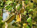 Caesalpinia in Celestún Estuary - Flickr - treegrow (6).jpg