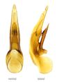 Cafius xantholoma (Gravenhorst, 1806) Genital.png