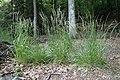 Calamagrostis arundinacea kz05.jpg
