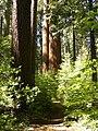 Calaveras Big Trees State Park - South Grove, CA - panoramio (6).jpg