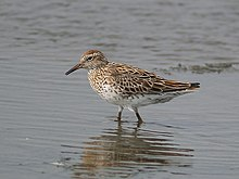 Sharp-tailed sandpiper walking in shallow water