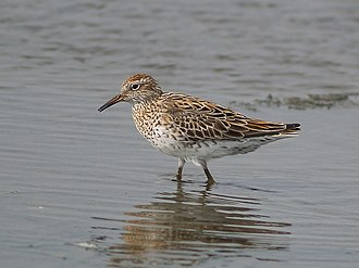 Tuggerah Lakes - The IBA is an important site for sharp-tailed sandpipers