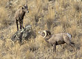 California Bighorn Sheep, Burnt River Canyon.jpg