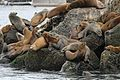 California Sea Lions - Flickr - GregTheBusker.jpg